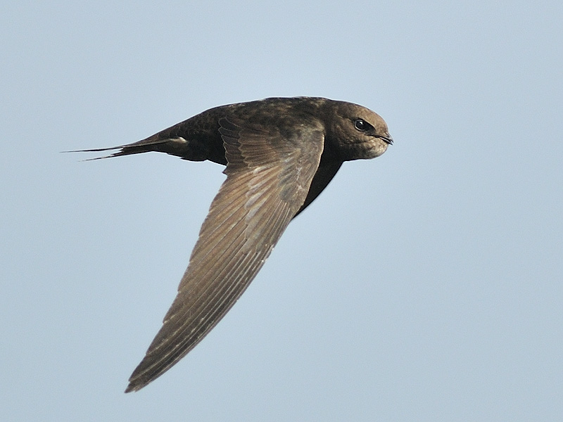 Common swift flying against a blue sky.