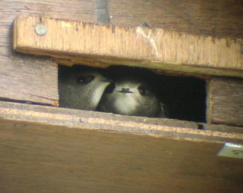 Swifts peeping out from their nest box.