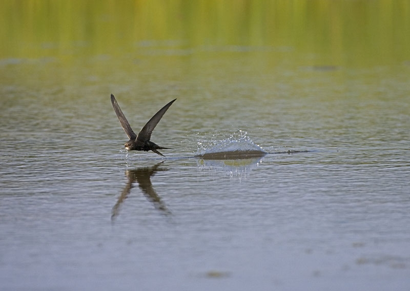 Swift skimming over water catching insects to feed on.