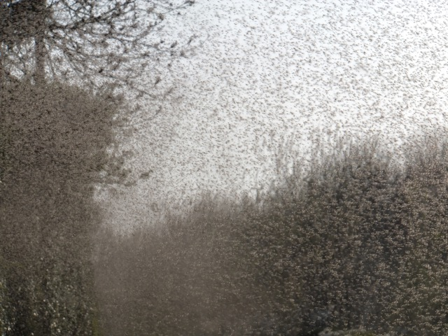 A swarm of flies on Lough Neagh, these form part of the diet of swifts.
