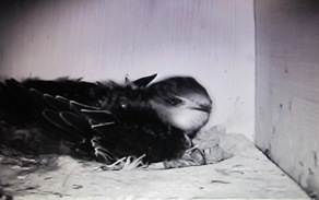 Swift on nest as seen from mini box cam.