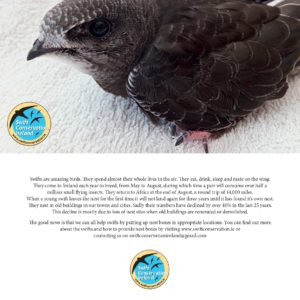 Greeting card featuring the common swift - apus apus