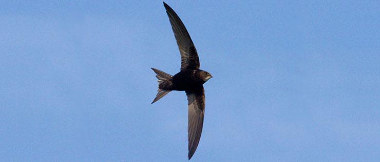 Swift Flying - Copyright © Mícheál Casey
