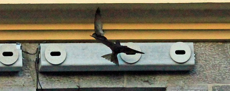 One swift arriving and another leaving a nest box